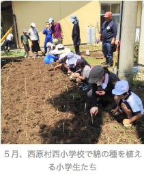 熊本地震被災者の心のケアに「綿の育成」の画像